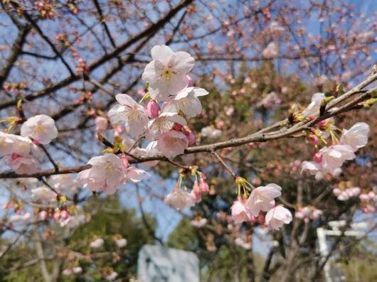 樱花1.jpg